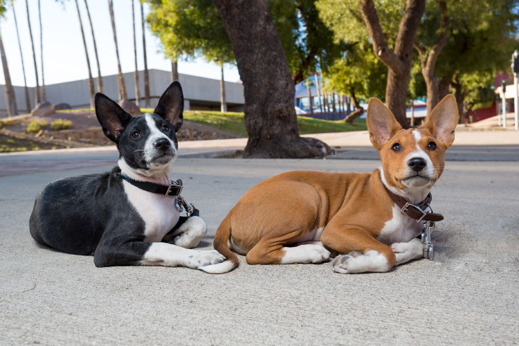 Dogs | Pet Portrait/ |Basenji Photo