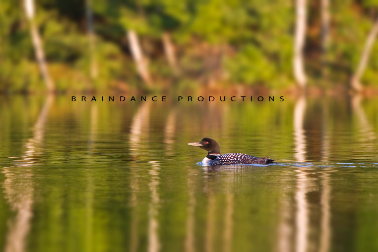 Common Loon Wildlife Photo